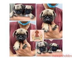 Mini Pug Sertifikat kualitas terbaik - Gambar 2