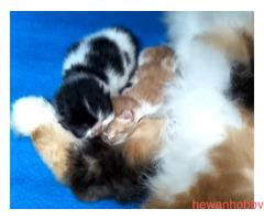 Anak kucing persia - Gambar 1