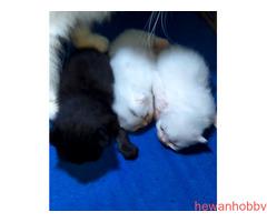 Anak kucing persia - Gambar 2