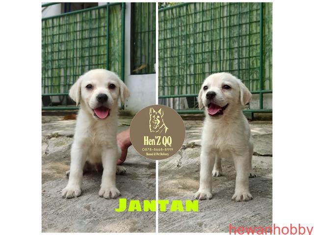 Jual Labrador 1 Jantan & 4 Betina - 1