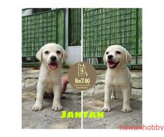 Jual Labrador 1 Jantan & 4 Betina - Gambar 1