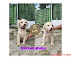 Jual Labrador 1 Jantan & 4 Betina - Gambar 2