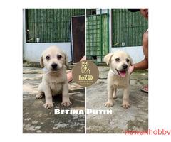Jual Labrador 1 Jantan & 4 Betina - Gambar 4