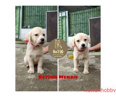 Jual Labrador 1 Jantan & 4 Betina - Gambar 5