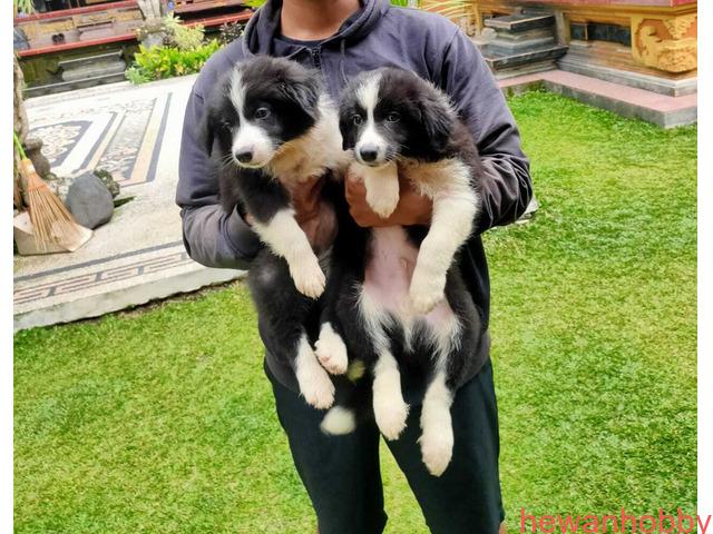 Anjing bordercollie - 2