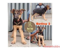Jual Anakan Herder 2 Jantan & 3 Betina - Gambar 5