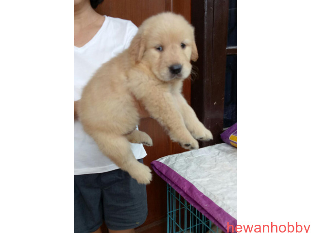 Dijual 7 jantan dan 1 betina golden retriever top qwality - 1
