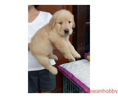 Dijual 7 jantan dan 1 betina golden retriever top qwality - Gambar 1