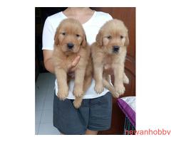 Dijual 7 jantan dan 1 betina golden retriever top qwality - Gambar 2