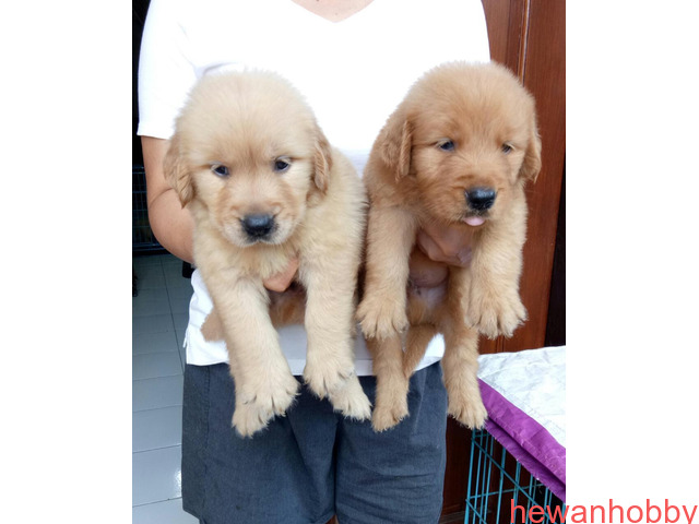 Dijual 7 jantan dan 1 betina golden retriever top qwality - 3