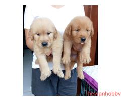 Dijual 7 jantan dan 1 betina golden retriever top qwality - Gambar 3