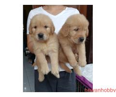 Dijual 7 jantan dan 1 betina golden retriever top qwality - Gambar 4