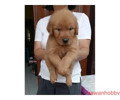 Dijual 7 jantan dan 1 betina golden retriever top qwality - Gambar 5