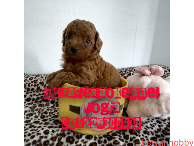 Puppies poodle - 1