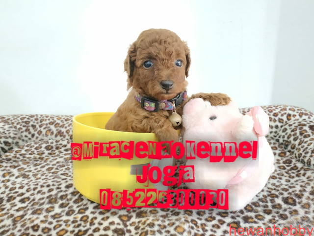 Puppies poodle - 2
