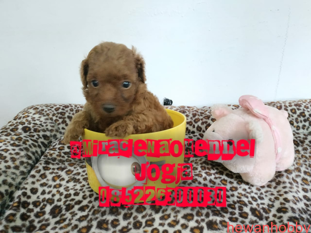 Puppies poodle - 3