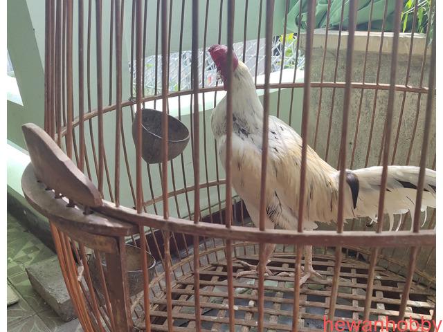 Ayam bekisar kontes - 2