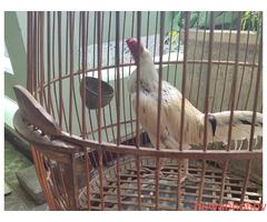 Ayam bekisar kontes - Gambar 2