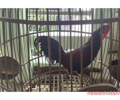 Ayam bekisar kontes - Gambar 4
