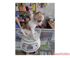 Cihuhua tea cup - Gambar 1
