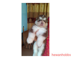Siberian Husky - Gambar 2