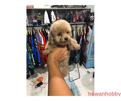 Poodle brown pupies - Gambar 1