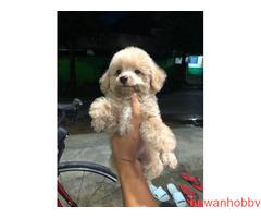 Poodle brown pupies - Gambar 2