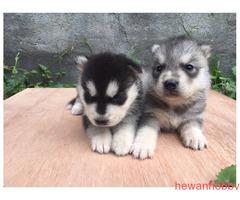 Siberian Husky - Gambar 1