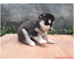 Siberian Husky - Gambar 3