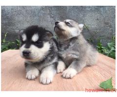 Siberian Husky - Gambar 4
