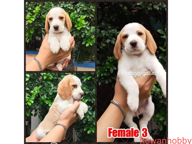 Beagle - 1