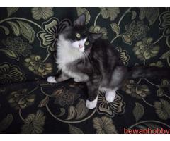 Kitten Mainecoon - Gambar 2