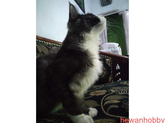 Kitten Mainecoon - 3