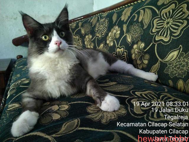 Kitten Mainecoon - 4